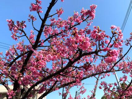 江東区木場公園周辺の大横川沿いでは河津桜が見頃になってきました