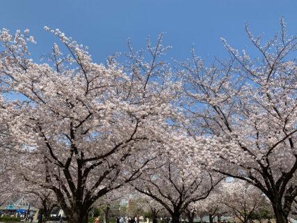 早朝の時間帯に江東区木場公園でランをしながら、満開の桜を愛でてきました